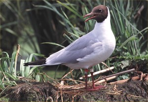 Mouette rieuse baguée, photo de Jean-Dominique Lebreton